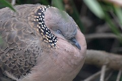 Spotted Dove asleep_5522E (Streptopelia chinensis) (Neil H Mansfield) Tags: dove pigeon spotted turtle bird nature native australian victoria streptopeliachinensis spotteddove