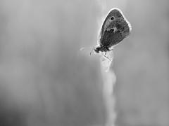 Papillon au coucher. (steph20_2) Tags: panasonic gh3 m43 lumix 52bb tamron papillon butterfly insecte insect monochrome monochrom noir noiretblanc ngc blanc black bw white skanchelli