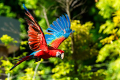 Red and Green Macaw, Rose in Flight : ベニコンゴウインコのローズの飛翔 (Dakiny) Tags: 2017 summer june japan kanagawa yokohama asahiward park city street outdoor zoo yokohamazoologicalgardens zoorasia show birdshow people creature animal bird nikon d750 sigma apo 70200mm f28 ex hsm apo70200mmf28dexhsm sigmaapo70200mmf28dexhsm nikonclubit