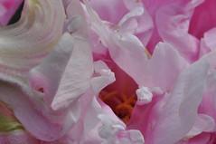 Macro #9,  2nd of July 2017 (viliris) Tags: macro macrodreams macroflowers pink pion petals stamen orange organicform monocromatic mygarden flower oslo summer floralfantasy