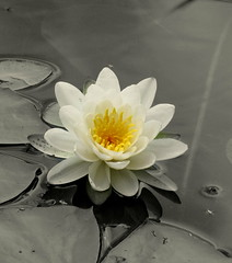 White Water Liliy (Patchwork Daily Desire) Tags: lake nature flower wildeflowers white yellow forest water lily tree sky blue clear