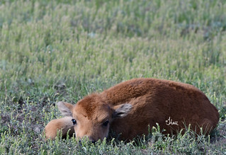 Seriously, the cuteness! Bison Calf Resting - 9062b+