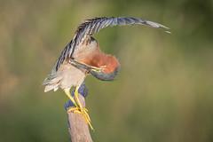 Nit Picker (gseloff) Tags: greenheron bird preening wildlife nature horsepenbayou pasadena texas kayakphotography gseloff