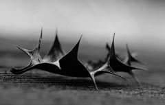 Untouchable. (South Devon Pixie) Tags: leaf holly black white fine art