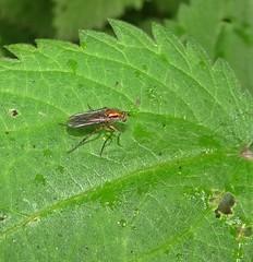 Bright (Bricheno) Tags: insect hoverfly macro renfrew bricheno scotland escocia schottland écosse scozia escòcia szkocja scoția 蘇格蘭 स्कॉटलैंड σκωτία