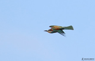DSP01470 - Bee-eater (Merops apiaster)