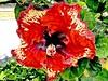 Hibiscus Rosa-Sinensis - Hibisco - Flora - Graal Clube dos Quinhentos - Guaratinguetá-SP - Fotografado em 27-12-2015  por Regis Silbar (Regis Silbar) Tags: hibiscusrosasinensis hibisco flor florvermelha flora guaratinguetá sãopaulo sp regissilbar regis silbar