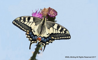 Swallowtail from Norfolk