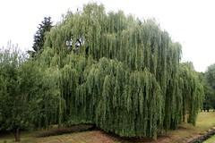 Salix babylonica - Weeping willow tree - Trauerweide (siglinde m) Tags: salix babylonica weeping willow tree trauerweide
