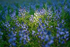 Jeden (daamiank) Tags: łubin niebieski pole field lupine sb900 nikon 610 50mm blue