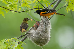 It's Fathers Day (and mothers and kids..) (Earl Reinink) Tags: family father mother bird animal oriole babies nest earlreinink earl reinink nature naturephotography nikon d810 600mm niagara maple aiudzardia