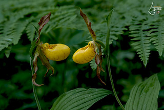 large yellow lady slipper, cypripedium parviflorum var. pubescens