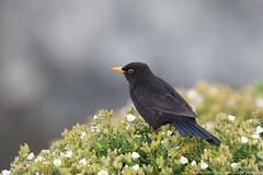 Merle noir (gilbert.calatayud) Tags: commonblackbird merlenoir passériformes turdidés turdusmerula bird oiseau cap béar côte vermeille