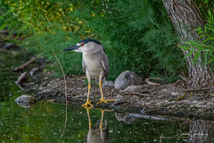 My what big eyes you have! (craig goettsch) Tags: blackcrownednightheron rfp hendersonbirdviewingpreserve2017 heron bird avian animals nature green nikon wildlife d500
