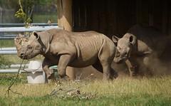 Yorkshire Wildlife Park 08.07.17 408 (SnapAndy1512) Tags: yorkshirewildlifepark080717 yorkshirewildlifepark yorkshire blackrhino rhino animals zoo
