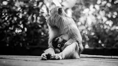 Monkey Forest | UBUD (Sudharsan Ravikumar) Tags: photo photos pic pics picture photographer pictures snapshot art beautiful instagood picoftheday photooftheday color allshots exposure composition focus capture moment photoshoot photodaily photogram canon 5d sigma 35mm telelens sr sudharsanravikumar spoton studios spotonstudios sos mark3 indonesia ubud bali kuta travel nightsafari kintamani gwk park padang uluwatu sunset kecak dance iredance fire firedance beachwalkshoppingcenter monkeyforest monkey forest rice terrace tegalalang