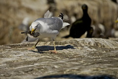HERRING GULL (tony.cox27) Tags: herring gull guillemot