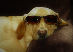 Taking it easy..x (Lisa@Lethen) Tags: sunshine sunny chilled out relaxed dog pet labrador sunglasses pregnant female she