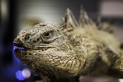 Animal1 (hanschristhian) Tags: iguana taipeizoo