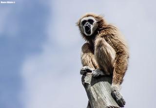 Hooting Gibbon