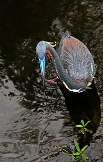 Tricolored heron - Wakodahatchee