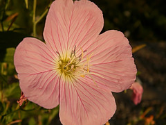 al sole estivo (silvia07(very busy)) Tags: flower fiore pink pinkflowers rosa summer sunlight nature flora garden flowers