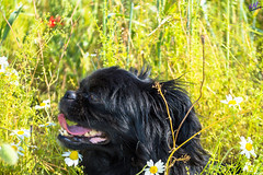 Зверушки 0411 (2016.06.01) (vladsky78) Tags: ильичёвск животные зелень цветы поле собака