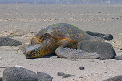 Honu - Green Sea Turtle (hennessy.barb) Tags: seaturtle greenseaturtle reptile turtle honu cheloniamydas peaceful gentle resting