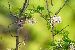 Fringuello (f_foschi.) Tags: fringuello bird colori spring francesco foschi nikon d500 flower tree alberi fiori uccello colors