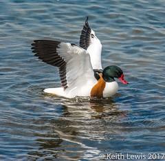 Shelduck (keithhull) Tags: shelduck bird duck northcavewetlands eastyorkshire yorkshirewildlifetrust