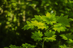 Bokeh (Photo Alan) Tags: bokeh leaves sunshine sunnyday outdoor trees leicam10 leicasummicron50mmf20 colorful vancouver summer summertime leica canada