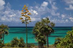 "Eleuthera: Agave in bloom (Ali Bentley) Tags: ""century plant"" agave bloom flower eleuthera eleutheraisland thebahamas bahamas island caribbean centuryplant canon"