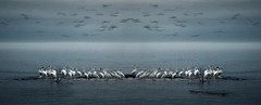 Blurred Gulls Above White Pelicans (imageClear) Tags: mirrored pelicans americanwhitepelican gulls blur northpoint evening lovely contrast wildlife sheboygan wisconsin lakemichigan aperture nikon d500 80400mm imageclear flickr photostream