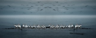 Blurred Gulls Above White Pelicans