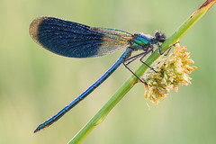 Calopteryx splendens (Prajzner) Tags: calopteryxsplendens bandeddemoiselle odonata damselfly sigma105mmmacro manfrottomt190xpro3 nikond7100 velbonmagslider macro dew