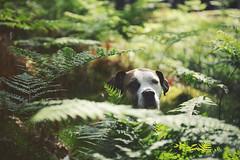 23/52 all dreamy in the summer forest (Jutta Bauer) Tags: 52weeksfordogs 52weeksforedgar edgar excellentedgar dog boxermix pitbullmix green summer forest outdoors morning bokeh fern nature
