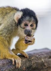Squirrel monkey eating (Tambako the Jaguar) Tags: eating holding food branch portrait squirrelmonkey primate monkey ape cute dählölzli bern zoo switzerland nikon d5