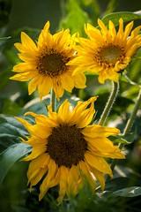 1 2 3 .... soleil ! (clamar18) Tags: mérysurcher fleurs jardin tournesol soleil jaune fleur