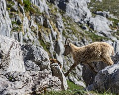 Et hop ! (come on, jump ! ) (Larch) Tags: wildanimal animalsauvage faune montagne mountain alps alpes rocher rock jump toison bouquetin ibex bond fleece sabot hoof