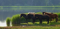 The moment (annazelei) Tags: natura nature land water nyborg fauna horse moment line row brown green landscape seaside panasonic silhouette wet mystic sunset light lights standing thinking denmark paysage