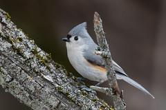 Tufted Titmouse (suebarth) Tags: birds birding passerines titmice tuftedtitmouse