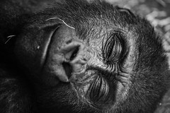 sleeping beauty (James Jacques) Tags: sony a7 70200 fe f4 gorilla nature wildlife bw blackandwhite blanknwhitle monochrome animal face