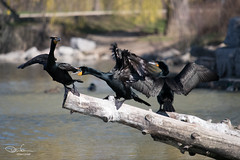 The Tipping Point (Don Cortell) Tags: birds nature wildlife cormorant fighting falling water log waterfowl feathers beaks