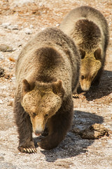 Follow the leader (ChicagoBob46) Tags: grizz grizzly grizzlybear blackbear yearling cub yellowstone yellowstonenationalpark nature wildlife coth5