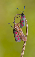 Six - spot Burnet - Zygaena filipendulae (Ivan Lynas Nature Photography) Tags: