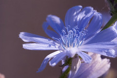 Common chicory. Wilde Chicorei. 002. (George Ino) Tags: copyright georgeino georgeinohotmailcom thenetherlandshollandnederland utrecht blauw blue bleu flower bloem detail chicorée radicchio zichorienwurzel wildecichorei middellandsezeegebied cichoriumintybus commonchicory plant greece roman italy india ngc
