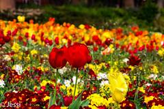 Petit Fleurs (Felicis_Flower) Tags: flower bloom blüte tulpe tulip rot red gelb yellow wiese garden blumenwiese blumenmeer