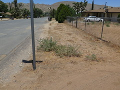 Rinnie_8296 (dimensions of biodiversity) Tags: oneothera californica californicaavita yucca valley california incatrail rinnie oenothera 2017 yuccavalley