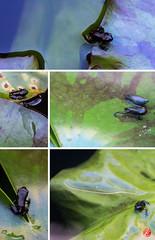 Quacks (bornschein) Tags: animal frog water garden home green life