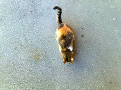 Fotografie36800 (chicore2011) Tags: calicocat snacking